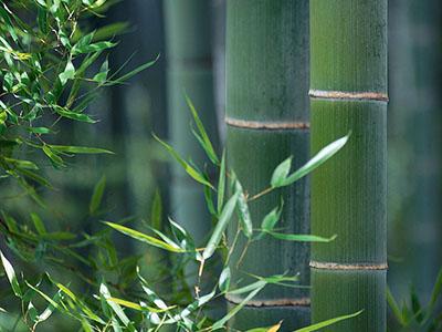 Bambus-Köln Phyllostachys
