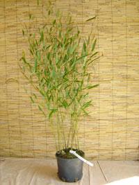 Bambus-Köln Phyllostachys heteroclada - Wasserbambus