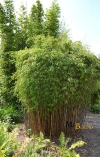 Bambus-Köln Fargesia jiuzhaigou Hain - Jade Bambus
