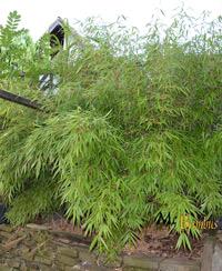 Bambus-Köln Bambus Fargesia rufa
