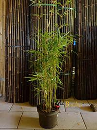 Bambus-Köln Fargesia robusta campbell - Höhe 140 cm