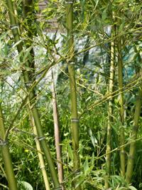 Bambus-Köln Halmdetailansicht von Phyllostachys parvifolia mit dem charakteristische Halmreif unterhalb der Nodie