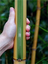 Bambus-Köln Halmdetail von Phyllostachys vivax Huangwenzhu Inversa