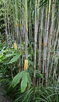 Bambus-Köln