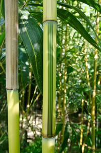Bambus-Köln Detailansicht vom Bambus Halm - Phyllostachys aureosulcata Spectabilis