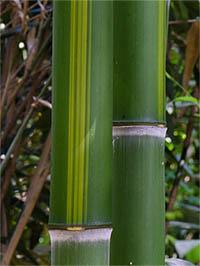 Bambus-Köln Halmzeichnung von der Bambussorte Phyllostachys vivax huangwenzhu