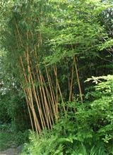 Bambus-Köln Hohe Bambusse